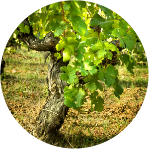 vineyards3-circle